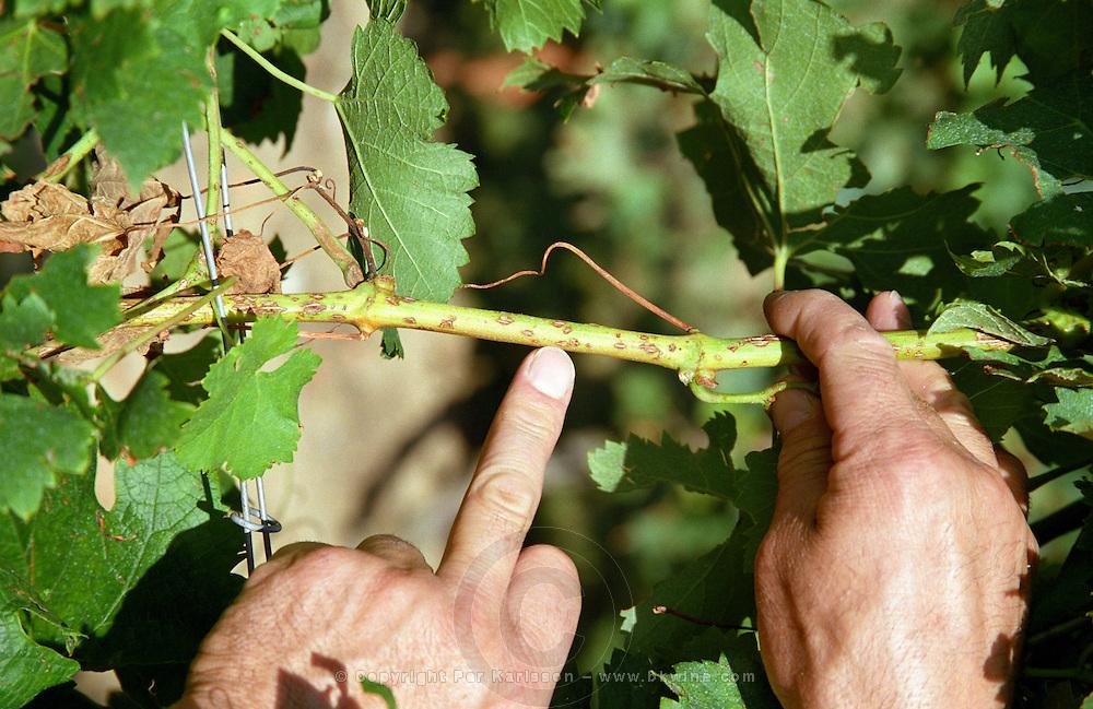 Vine damaged by hail, branches and wood hurt chateau de castelnau entre deux mers bordeaux france