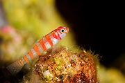The candy-cane dwarf goby is a a small colourful goby that usually inhabits coral walls below a depth of 30 meters.  The goby flits from coral patch to coral patch in a defined territory darting into the water column when prey is sighted
