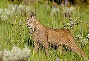 Lynx during summer (Lynx canadensis)
