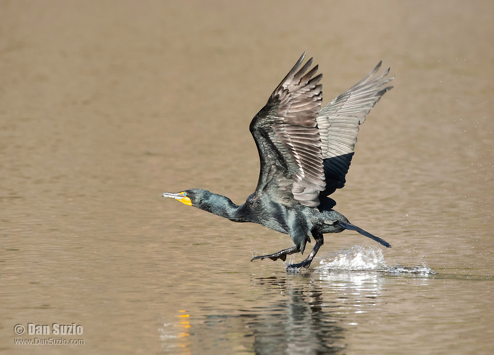 Double-crested Cormorant, Phalacrocorax auritus, takes flight from Upper Klamath Lake, near Klamath Falls, Oregon