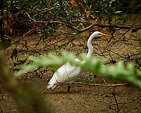 Great Egret in a swamp. Brooker Creek Preserve, Pinellas County. Image taken with a Nikon Df camera and 300 mm f/4 lens (ISO 1250, 300 mm, f/4, 1/640 sec).