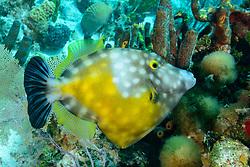 Cantherhines macrocerus, Weisspunkt oder Weissflecken Feilenfisch in Kroallenriff, American whitespotted filefish in Coralreef, Insel Tortola, Britische Jungferninsel, Karibik, Karibisches Meer, Tortola Island, British Virgin Islands, BVI, Caribbean Sea