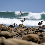 Whimbrels search for food, preferably tiny crabs, between the rocks in the tide pools at Malibu Beach.