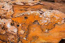 Oranje boomalg, Trentepohlia aurea
