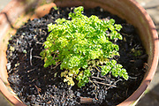 Leaf parsley clump, petroselinum crispum, growing in compost in pot viewed oblique angle from above, UK
