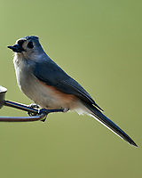 Tufted Titmouse (Baeolophus bicolor). Image taken with a Nikon D5 camera and 600 mm f/4 VR telephoto lens.