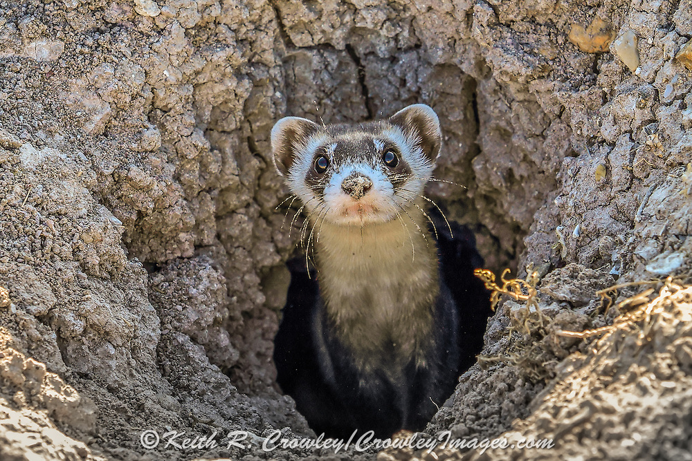 Wild Black-footed ferret in habitat