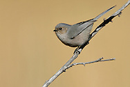 Bushtit - Psaltriparus minimus - Adult male