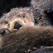 Sea Otter, (Enhydra lutris) Mother and baby resting on seaweed covered rocks. Aleutian Islands. Alaska.