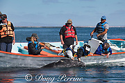 friendly gray whale calf, Eschrichtius robustus, surfaces next to a whale-watching tour boat, San Ignacio Lagoon, El Vizcaino Biosphere Reserve, Baja California Sur, Mexico; some passengers reach over to touch the whale; linear scars on calf's rostrum are likely from a boar propeller, patches of whale lice amphipods cluster on its skin
