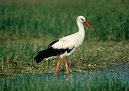 White Stork Ciconia ciconia L 100-115cm. Large and unmistakable black-and-white bird. Winters in Africa, breeds in mainland Europe and turns up in small numbers, usually in spring and summer, favouring wet grassland.