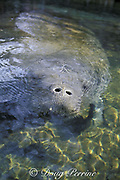 Florida manatee, Trichechus manatus latirostris, breathing, with only the tip of the nostril showing; ( manatees are vulnerable to boat strikes at this time ); Homosassa Springs Wildlife State Park, Florida, USA, North America