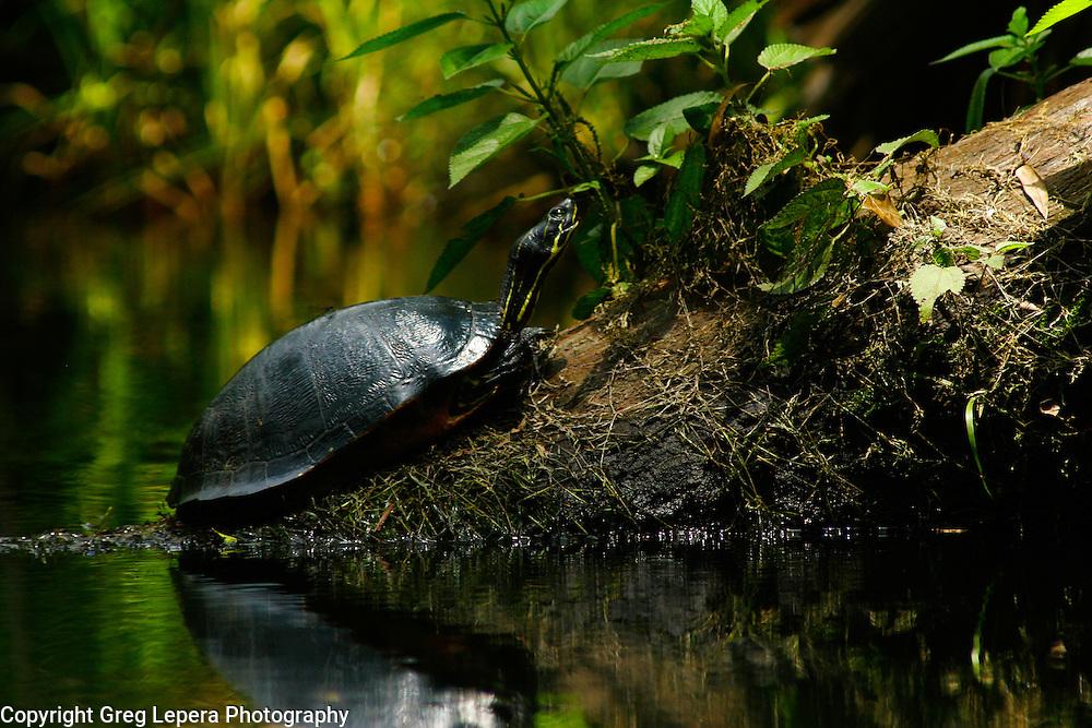 Basking Florida Red-bellied Turtle in Juniper Springs Run, Florida.