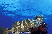 diver and Nassau grouper, Epinephelus striatus, Endangered Species, Lighthouse Reef Atoll, Belize, Central America ( Caribbean Sea ) MR 127