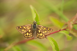 Chequered skipper butterfly Carterocephalus palaemon, adult female basking, part of the Back from the Brink project to reintroduce this species to England, Northamptonshire, May