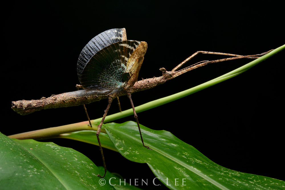 Although incapable of flight, this female Crowned Stick Insect (Onchestus rentzi) employs her wings for an entirely different purpose: defense. She has excellent camouflage when at rest but if discovered and threatened she will abruptly raise her wings as a startle tactic. The sudden increase in size and flash of color may cause some would-be predators to think twice before attacking. This species has a fascinating mode of reproduction: the females drop their small brown eggs at random on the forest floor where they are often mistaken for seeds by ants who then gather them for storage underground. The eggs then are able to mature in a relatively safe environment. Queensland, Australia.