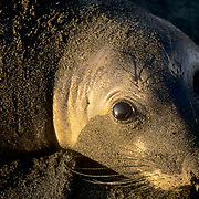 Northern Elephant Seal, (Mirounga angustirostris)  Female in late afternoon light. Central California.