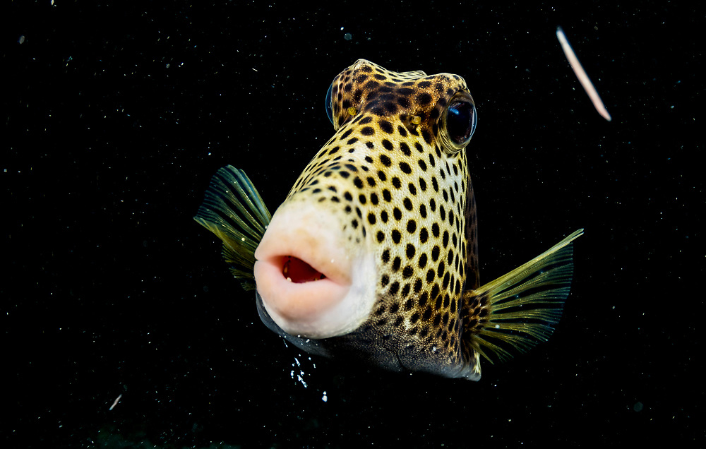 Spotted trunkfish (Lactophrys bicaudalis) portrait, Eleuthera, Bahamas.