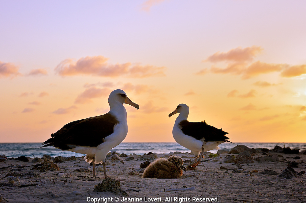 laysan albatross walk as the sunset gets golden.