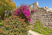 Bougainvillea plant in flower growing on old wall of ruined castle garden in the town of Tavira, Algarve, Portugal, southern Europe