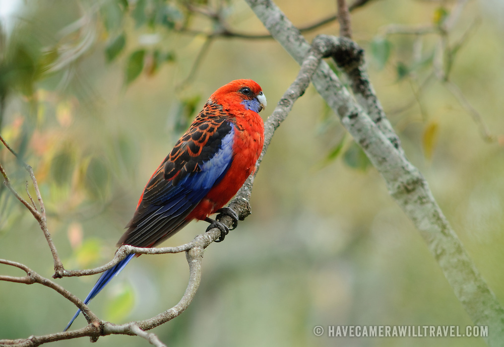 Wild rosella perched on a tree branch