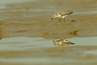 A Sanderling (Calidris alba) foraging at low tide in the mudflats of the Orinoco River Delta, Venezuela.
