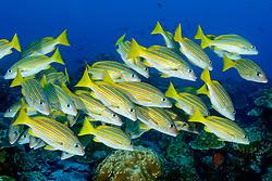 Schule von Blaugoldene Schnapper (Lutjanus viridis), Insel Cocos, Costa Rica, Pazifik, Pazifischer Ozean / School of Blue and gold snapper (Lutjanus viridis), Cocos Island, Costa Rica, Pacific Ocean