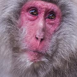 Japan - Snow Monkeys