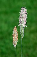 MEADOW FOXTAIL Alopecurus pratensis Height to 1m<br /> Tufted, hairless perennial that grows in meadows and on verges. FLOWERS are borne in smooth, cylindrical, purplish grey heads, 7-9cm long, of 1-flowered spikelets, with pointed glumes and long awns (Apr-Jun). FRUITS are small, dry nutlets. LEAVES are rough, 5-8mm wide with blunt ligules. STATUS-Widespread and common throughout.