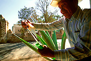 MEXICO, CRAFTS man extracting long fibers from agave plant, used by pre-hispanic cultures as thread