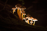 Bonnet fungi on fallen tree trunk. Surrey, UK.