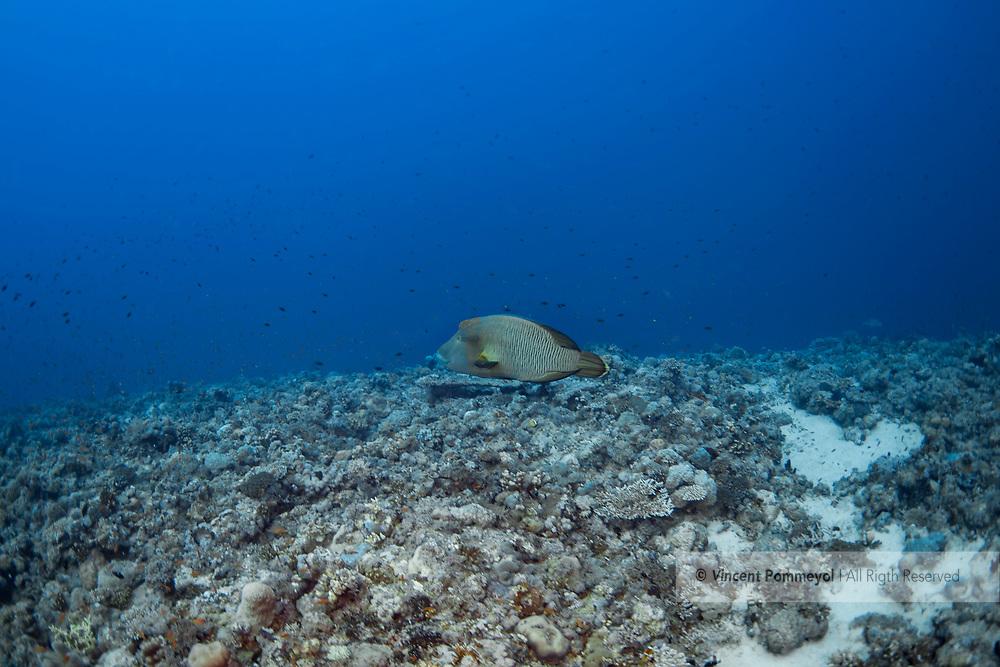 Humphead wrasse-Napoleon (Cheilinus undulatus) of Red Sea, Sudan.