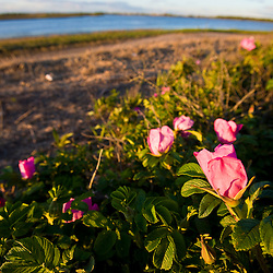 Rosa rugosa on Long Beach in Stratford, Connecticut.  Adjacent to the Great Meadows Unit of McKinney National Wildlife Refuge.