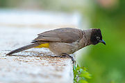 Yellow-vented Bulbul AKA White-Spectacled Bulbul, (Pycnonotus xanthopygos) perched on a branch. Photographed in Israel