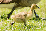 Middletown, New York - A Canada goose  gosling runs through the grass to keep up with its family at Fancher-Davidge Park on May 10, 2015.