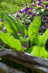 Viola tricolor with Rumex acetosa. Heartsease with French sorrel