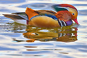 A male mandarin duck (Aix galericulata) drinks as he swims on Lake Washington in Kirkland, Washington, several thousand miles from its native range in east Asia. While the mandarin duck is native to Japan, southeast Russia and eastern China, it has been exported to the United Kingdom and North America, where it has occasionally escaped captivity and established feral populations. It is closely related to the North American wood duck.
