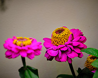 Indoor Hydroponic Zinnia Flower. Image taken with a Fuji X-T2 camera and 100-400 mm OIS lens (ISO 200, 400 mm, f/6.4, 1/170 sec).