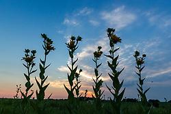 Stiff sunflower silhouette Blackland Prairie at Clymer Meadow Preserve, Texas Nature Conservancy, Greenville, Texas, USA. (Tentative ID).