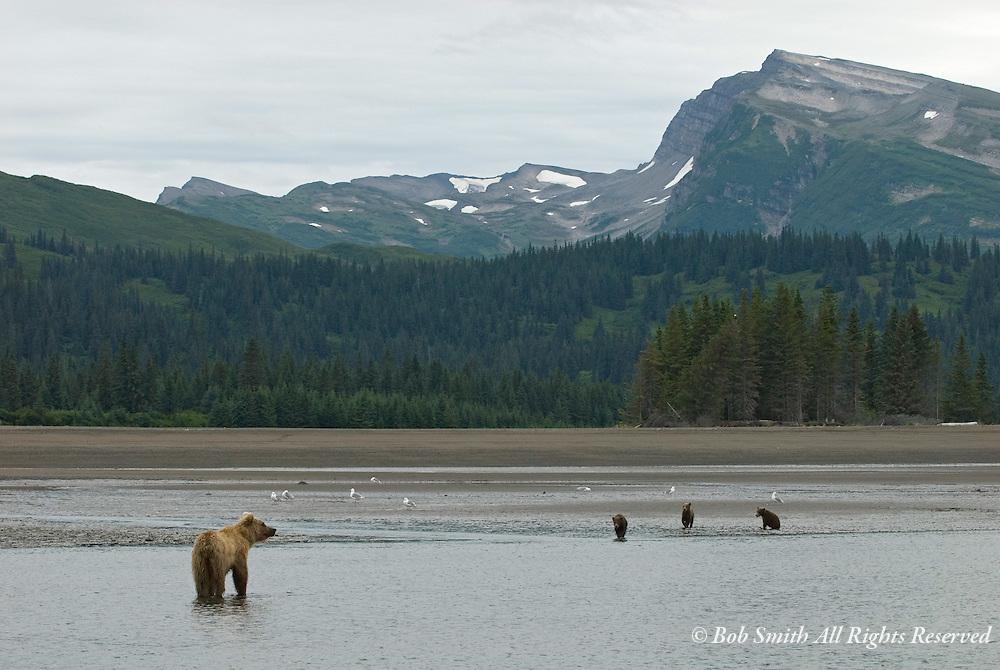 Nursing mother Brown bear with three cubs, Lake Clark National Park, Alaska 8/17/07 (ursus arctos)