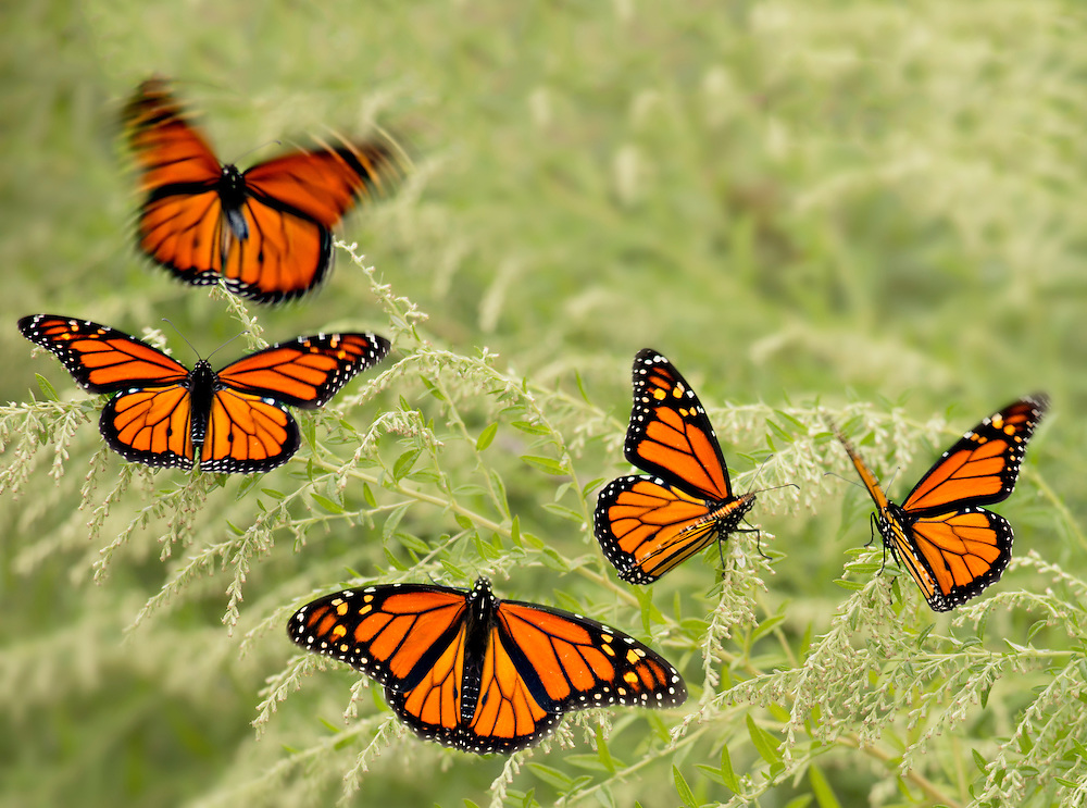 """5 male monarchs rest before continuing their migration journey. <br /> <br /> Available size:<br /> 11"""" x 14"""" print <br /> <br /> See Pricing page for more information. Please contact me for custom sizes and print options including canvas wraps, metal prints, assorted paper options, etc. <br /> <br /> I enjoy working with buyers to help them with all their home and commercial wall art needs."""