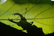 This stag beetle (Lucanus cervus) is living on oak trees. Biosphere Reserve 'Niedersächsische Elbtalaue' (Lower Saxonian Elbe Valley), Germany | Wo der Hirschkäfer (Lucanus cervus) lebt, ist der Wald noch in Ordnung: 1000 Jahre muss die Natur sich selbst überlassen bleiben, um diesem Käfer eine Heimat zu bieten. Seine Larven entwickeln sich im alten, modrigen Totholz von Eichen in den letzten 'Urwäldern' Deutschlands. An warmen Sommerabenden kann man das Brummen der handtellergroßen Käfer hören, wenn sie um die Eichen herum fliegen. Bis sie sich irgendwann niederlassen, um auf den Blättern und Ästen nach einer Partnerin zu suchen …<br /> Biosphärenreservat Niedersächsische Elbtalaue, Deutschland