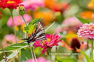 03006-00407 Zebra Swallowtail (Protographium marcellus) on Zinnia Union Co. IL