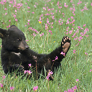 Black Bear (Ursus americanus) cub in a field of Shooting Star flowers in Montana. Captive Animal