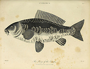 Cyprinus King of the Carps Copperplate engraving From the Encyclopaedia Londinensis or, Universal dictionary of arts, sciences, and literature; Volume V;  Edited by Wilkes, John. Published in London in 1810
