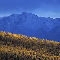 MONGOLIA, Darhad Valley. Fall-colored larch forest in front of Horidal Saridag Mountains.