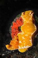 Nudibranchs lay chacteristic patterns of eggs on rocks or the sea bed. This many lobed ceratosoma (Ceratosoma tenue) is layinga spiral of red eggs on a small rock