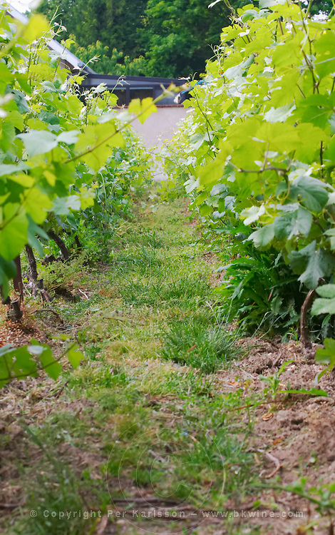 In the vineyard behind the house in the garden: grass and weed between the vines after it has been cut, Champagne Jacquesson in Dizy, Vallee de la Marne, Champagne, Marne, Ardennes, France, low light grainy grain