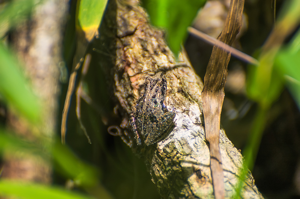 This southern cricket frog (probably the subspecies called Florida cricket frog) is nearly perfectly camouflaged in the thick, humid undergrowth of South Florida's inland wetlands near Immokalee, Florida where there are plenty of insects and plenty of cover from the numerous snakes, birds and alligators that share its habitat.