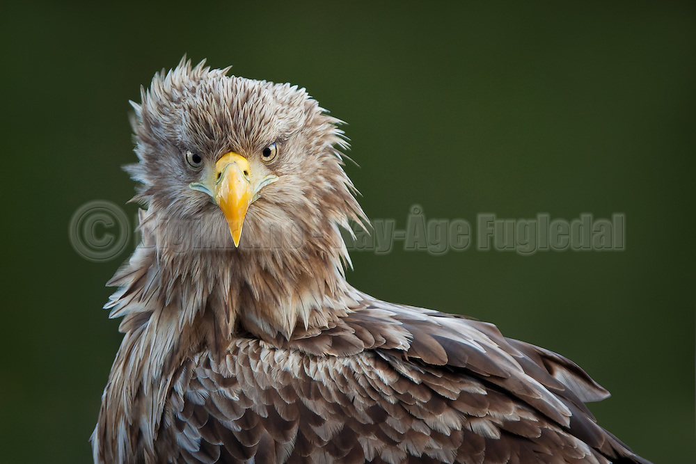 Havørn fotografert fra skjul på Smøla | White-tailed Eagle captured from shelter at Smøla, Norway
